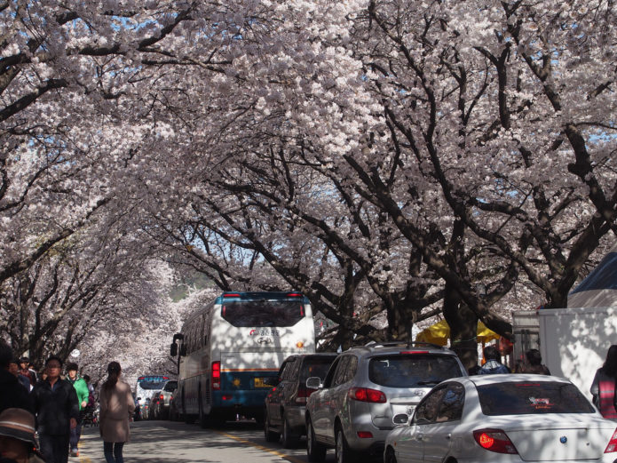 Аллея цветущих вишен у монастыря Dong-hak-sa