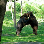 Медведи стоят на задних лапах в зоопарке Кошице
